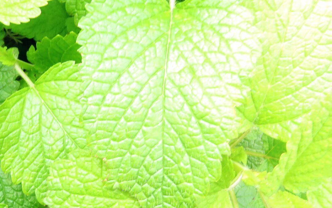 Lemon Balm Notes + Ritual